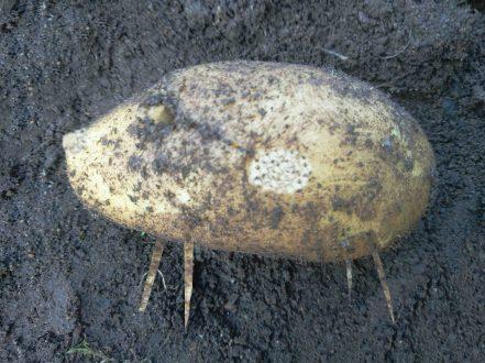 The last potatoe small